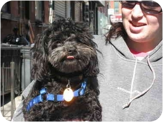 Shih Tzu Mix Dog For Sale In New York New York Edgar | Pomsky Picture