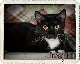 Domestic Shorthair Cat for adoption in Fort Mill, South Carolina - Elsie 5081M