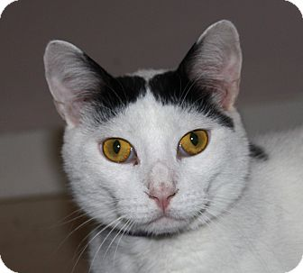 Domestic Shorthair Cat for adoption in North Branford, Connecticut - Barry