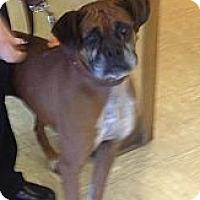 Adopt A Pet :: Shirley Temple - Springfield, MO