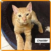 Adopt A Pet :: Cheddar - Miami, FL