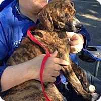Adopt A Pet :: Jenni - Conway, AR