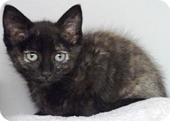 Domestic Shorthair Kitten for adoption in Keokuk, Iowa - Roxy