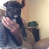 Adopt A Pet :: Cocoa - Burlington, NJ