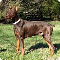 Adopt A Pet :: FIZZLE - Greensboro, NC