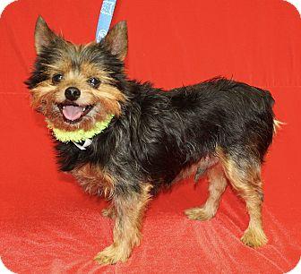 Yorkie, Yorkshire Terrier Mix Dog for adoption in Jackson, Michigan - Bruiser