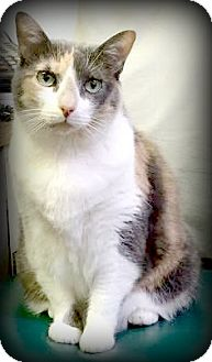 Domestic Shorthair Cat for adoption in Montclair, New Jersey - Charlotte