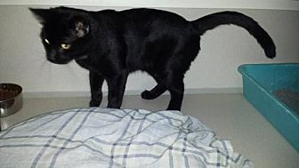 Domestic Shorthair Cat for adoption in Iroquois, Illinois - Bandit