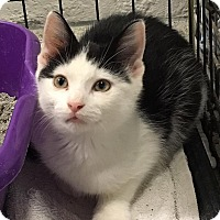 Domestic Shorthair Kitten for adoption in Davison, Michigan - Seargent