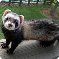 Adopt A Pet :: MASCARA - Brandy Station, VA
