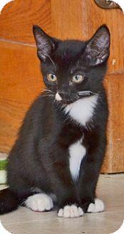 Domestic Shorthair Kitten for adoption in Davis, California - Mini Cooper