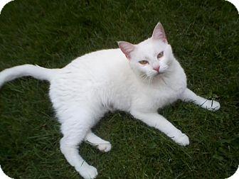 Domestic Shorthair Cat for adoption in Jeannette, Pennsylvania - Snowball