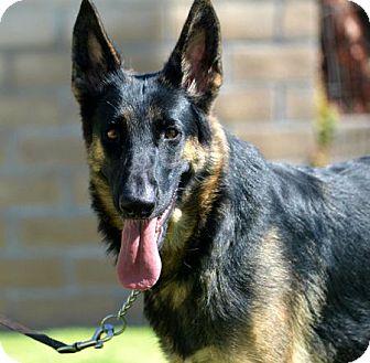 German Shepherd Dog Dog for adoption in San Diego, California - Sunny