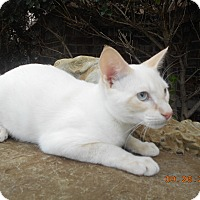 Siamese Kitten for adoption in haslet, Texas - andy