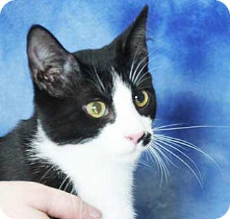 Domestic Shorthair Kitten for adoption in South Bend, Indiana - Peter