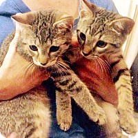 Adopt A Pet :: Purrky and Rimsky, Playful Purr-Babies - Brooklyn, NY