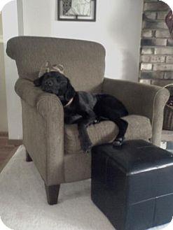 Labrador Retriever Mix Dog for adoption in Cleveland, Ohio - Buddy