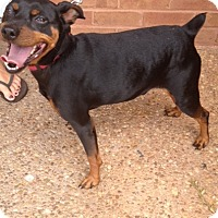 Manchester Terrier Mix Dog for adoption in Atlanta, Georgia - Max