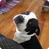 Adopt A Pet :: Charlesia - Whitestone, NY