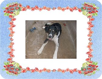 Border Collie/Australian Shepherd Mix Dog for adoption in KELLYVILLE, Oklahoma - DECOTA
