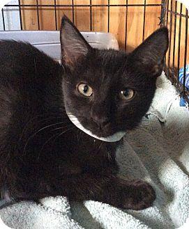 Domestic Shorthair Kitten for adoption in Breinigsville, Pennsylvania - Beethoven