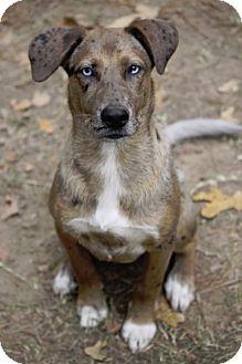 Australian Cattle Dog Puppy for adoption in Gilmer, Texas - Jonesie