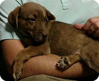 Labrador Retriever Mix Puppy for adoption in Washington DC, D.C. - Beans