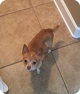 Chihuahua Mix Dog for adoption in Inverness, Florida - Mr. Bean