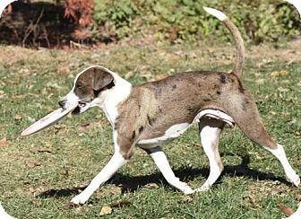 Whippet/Australian Shepherd Mix Dog for adoption in Mechanicsburg, Pennsylvania - Lexi