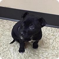 Adopt A Pet :: Scout - Frisco, TX