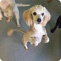 Adopt A Pet :: Rebecca - Phoenix, AZ