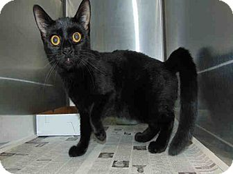 Domestic Shorthair Cat for adoption in St. Cloud, Florida - Shadow