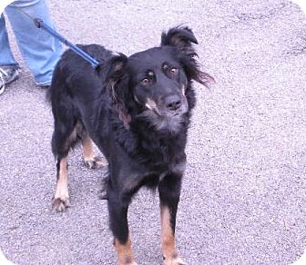 "Border Collie Mix Dog for adoption in New Castle, Pennsylvania - "" Luka """
