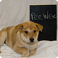 Adopt A Pet :: PeeWee - Westminster, CO