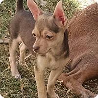 Adopt A Pet :: Ata - a Bug's life litter - Phoenix, AZ