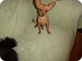 Chihuahua Mix Dog for adoption in Loveland, Colorado - CICI