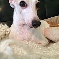 Italian Greyhound Dog for adoption in Richardson, Texas - Hunter