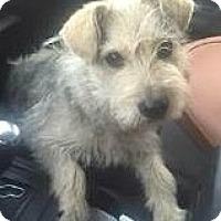 Adopt A Pet :: Nina-ADOPTION PENDING - Boulder, CO