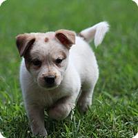 Adopt A Pet :: Sugar Baby~adopted!! - Glastonbury, CT