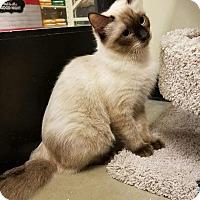 Siamese Kitten for adoption in Santa Ana, California - Mari-Ann