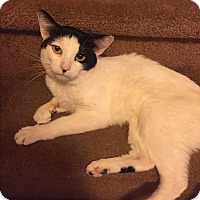 Domestic Shorthair Cat for adoption in Old Bridge, New Jersey - Patrick