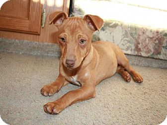 Chihuahua Mix Puppy for adoption in C/S & Denver Metro, Colorado - Dolsey 4 Months