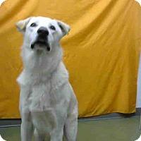 Labrador Retriever Mix Dog for adoption in San Bernardino, California - Beau-URGENT 12/3 @ DEVORE