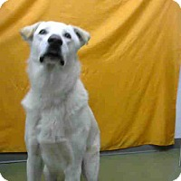 Adopt A Pet :: Beau-URGENT 12/3 @ DEVORE - San Bernardino, CA