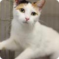 Adopt A Pet :: KR 4 calico - Yukon, OK