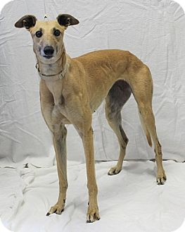 Greyhound Mix Dog for adoption in Swanzey, New Hampshire - Marguerite