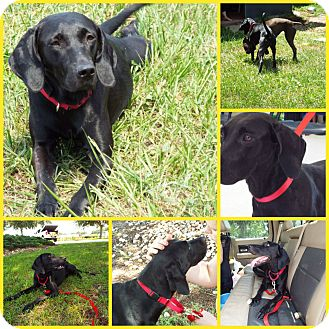 Weimaraner/Labrador Retriever Mix Dog for adoption in Inverness, Florida - AYRAH