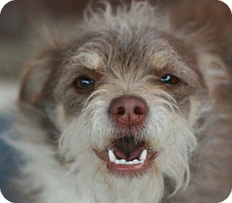 Terrier (Unknown Type, Small) Mix Dog for adoption in Canoga Park, California - Roxie
