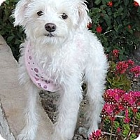 Adopt A Pet :: Candy - La Habra Heights, CA