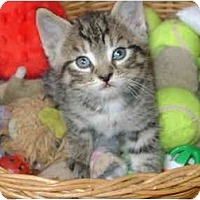 Adopt A Pet :: tabby boy - Etobicoke, ON